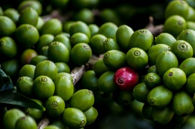 coffee berries_Thangaraj Kumaravel