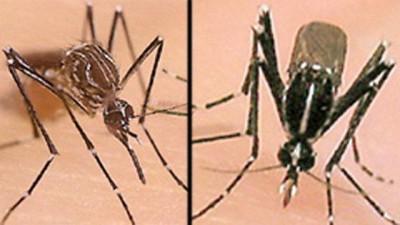 Aedes albopictu a la izquierda y Aedes aegypt a la derecha. Foto: